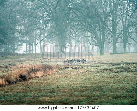 Fallow deer in a misty forest meadow.