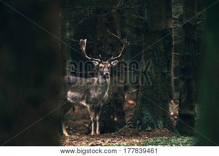 Fallow Deer Buck Between Trees In Dense Forest.