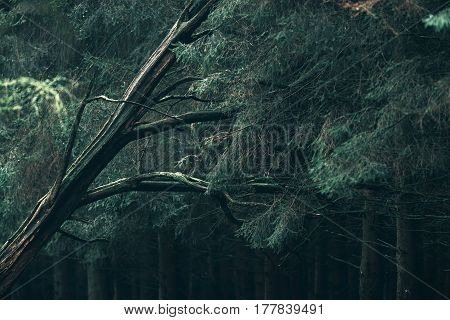 Thick dead branch in a pine forest.
