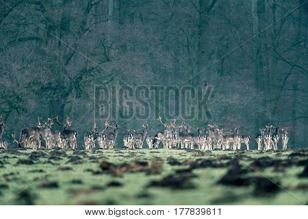 Large Group Of Fallow Deer Standing In A Row Near Forest.