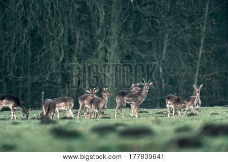 Group Of Fallow Deer In Forest Meadow.
