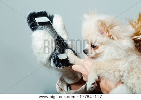 Cute pomeranian dog or puppy pet with fawn coat using smartphone mobile phone in cute faux fur cover in female hands wearing white woollen mittens on grey background