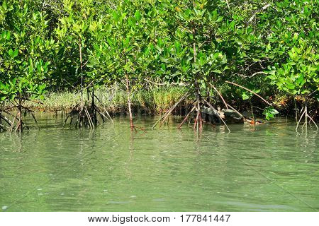Mangroves in the sea in the south of Thailand