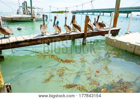 Big brown pelicans and tarpoons in port of Islamorada, Florida Keys. Waiting for fish at Robbie's Marina