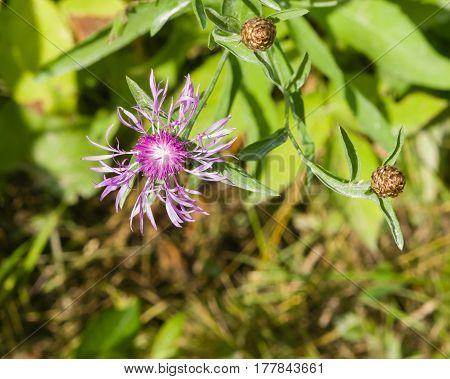 Blooming Brown Knapweed Centaurea jacea macro selective focus shallow DOF.
