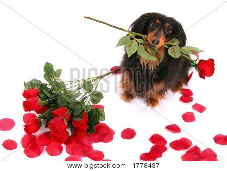 Dachshund And Roses