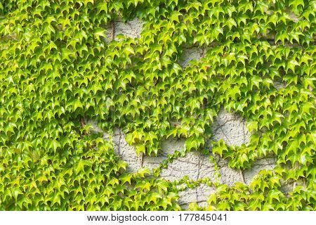 Old stone wall covered by Common or European Ivy Hedera helix background texture close-up selective focus shallow DOF.