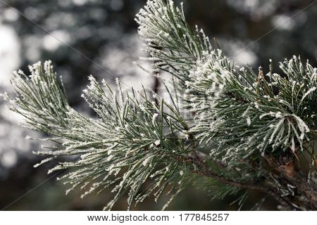 Branch of green Pine Tree with Needles covered by Snow and Frost