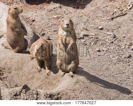 European Sousliks or Ground Squirrels Spermophilus citellus on dry ground close-up portrait selective focus shallow DOF.
