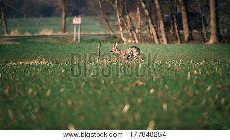 Roe Deer Buck Walking In Meadow Near Highway.