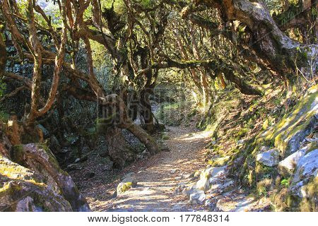 Annapurna trekking trail in an old big Rhododendron trees forest very famous trekking route in Nepal