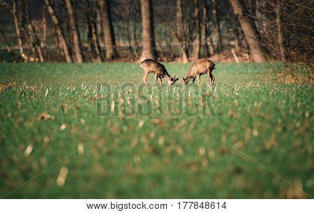 Grazing roe deer in a meadow near bushes.