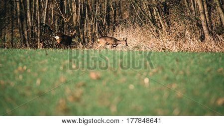 Roe Buck In Meadow Near Bushes Looking For Food.