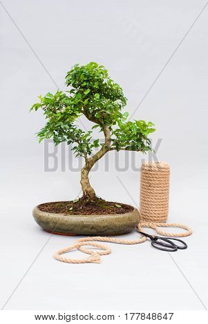 Bonsai with tools on a light gray background. Indoor plants and scissors for pruning branches.