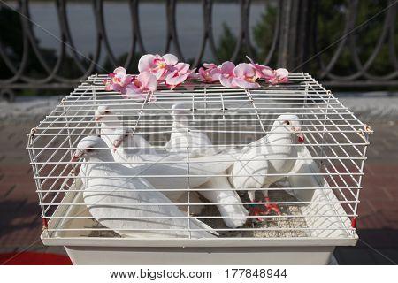 white dove, wedding dove dove in a cage.