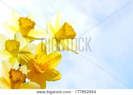 photography with scene of the flowering narcissus on background sky