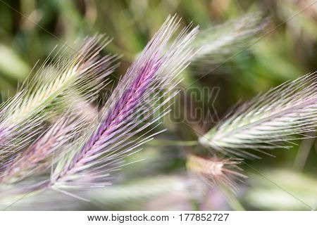 Common Rye (Secale Cereale) in the field