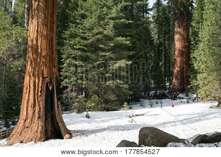 Giant Sequoia tree, Yosemite National Park, California USA