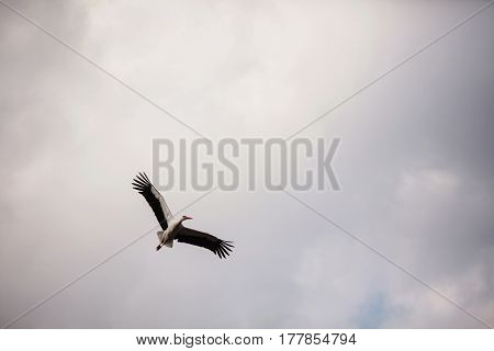 White Stork flying in the blue sky. Big bird