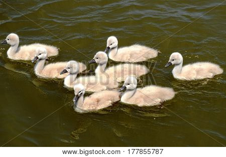 Family of cygnets enjoying day on a river