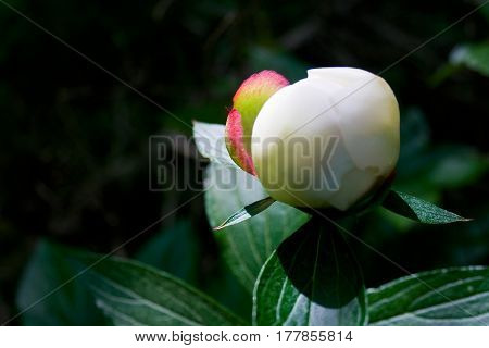 Bud Of White Peony Flower With A Hint Of Pink
