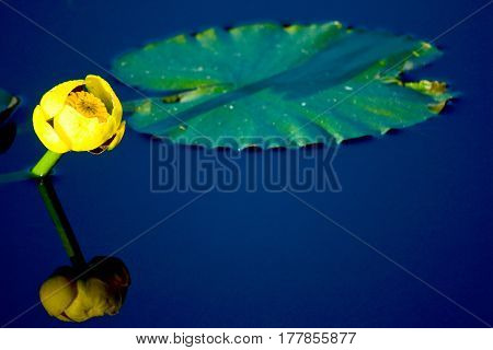 Yellow Lily And Lilypad In Water