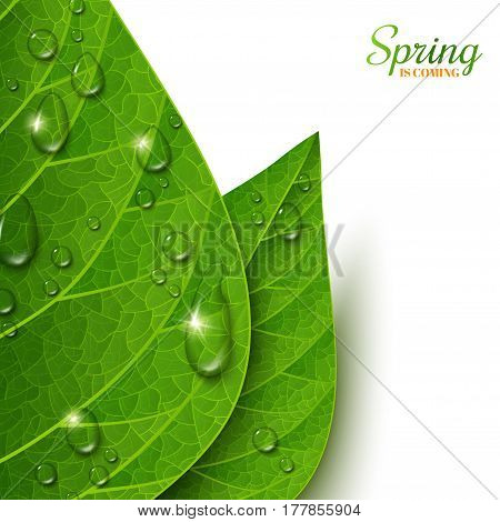 Macro view green leaves with water drops on white background. Morning dew, fresh spring foliage. Vector illustration. Spring is coming concept