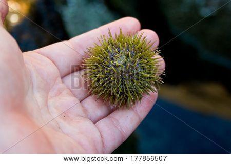 Green Sea Urchin In Person's Hand