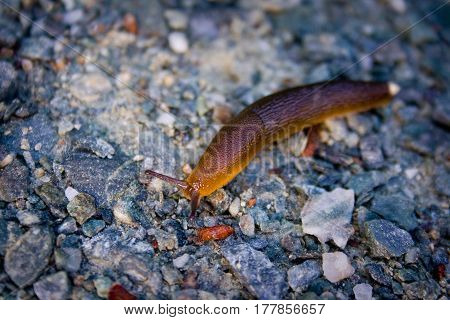 Yellow Brown Slug Crawling on Gravel Path Outdoors