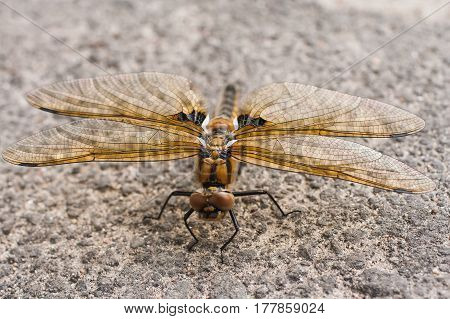 Large dragonfly with yellow wings sitting on the ground. Insect predator. Dragonfly outdoor