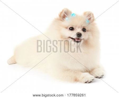 Pomeranian spitz dog with bows on white background