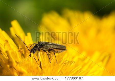 Black beetle sitting on a yellow flower. Macro photo. Dandelion. Macro photo of beetle
