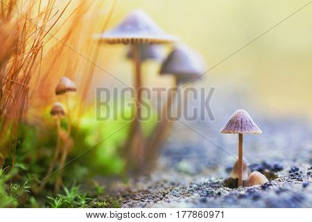 Macro photography on nature. Lovely small mushrooms. Warm sunlight. Abstract macro picture. Wild nature. Life of insects. Yellow mushrooms. Macro photo