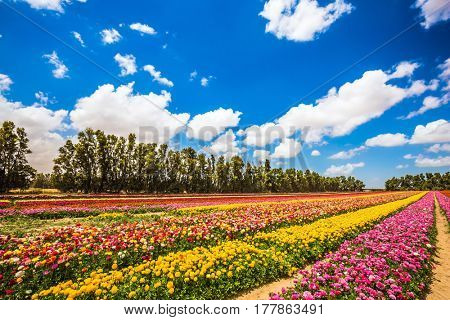 Walk on a sunny day. Garden buttercups bloom in bright colors. Farm field of flowers. The concept of eco-tourism