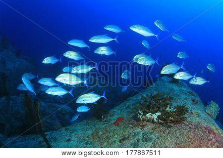 Fish school: Bigeye Trevallies (Jack fish) in blue ocean