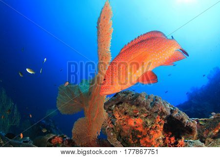 Red coral grouper fish