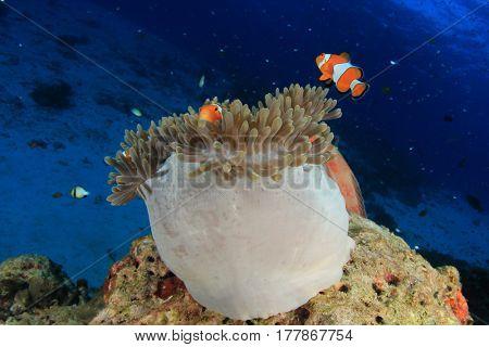 Anemone, anemonefish, clownfish tropical fish
