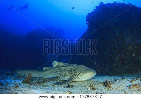 Leopard Shark (Zebra Shark) and scuba divers