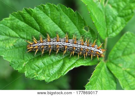 Caterpillar eats leaves. Some caterpillars make big damage to crops and fruit