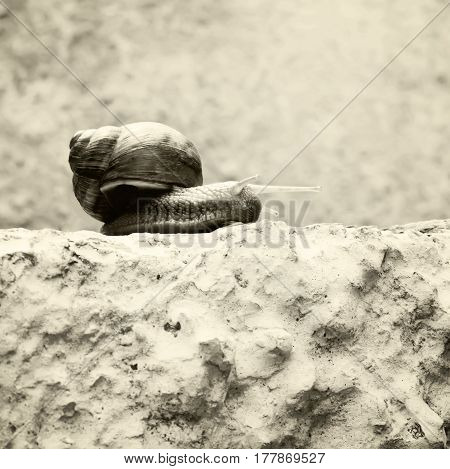 Snail crawling on stone. Snail balancing on the edge of the old stump black and white