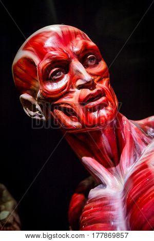 human muscles anatomy model on black