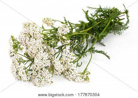 White yarrow flowers on white. Studio Photo