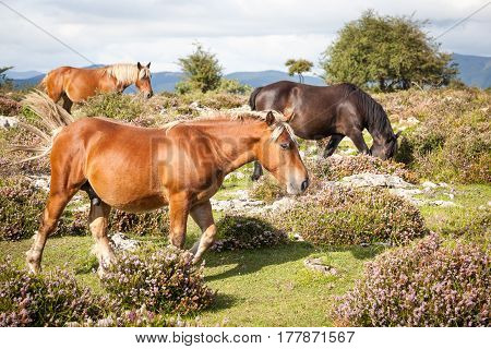 Beautiful exhibition brown horses in countryside, horse pasture in summer mountains