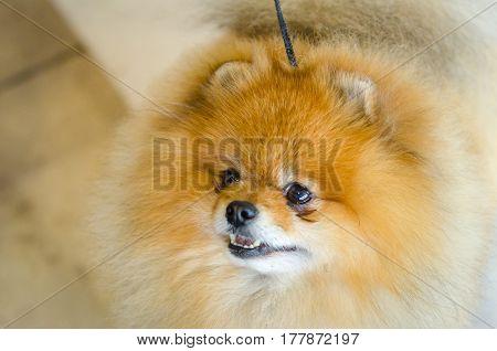 A beautiful puppy of a Pomeranian. Purebred