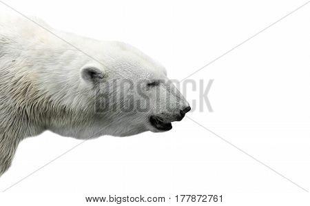 profile of a polar bear on an isolated background