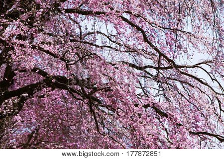Magnificent branches of Japanese Shidare zakura ?Cerasus spachiana f. spachiana?or weeping cherry in full bloom.
