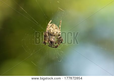 Spider garden-spider (lat. Araneus) of the genus araneomorph spiders of the family of Orb-web spiders (lat. Araneidae) on web pursed his paws. Green background