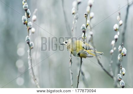 little bird Wren sitting on a branch of a willow with fluffy buds