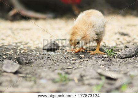 little yellow chick pecks the grain in the yard
