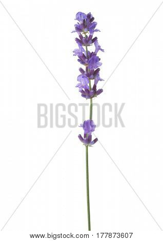 Sprig of lavender  isolated on white background